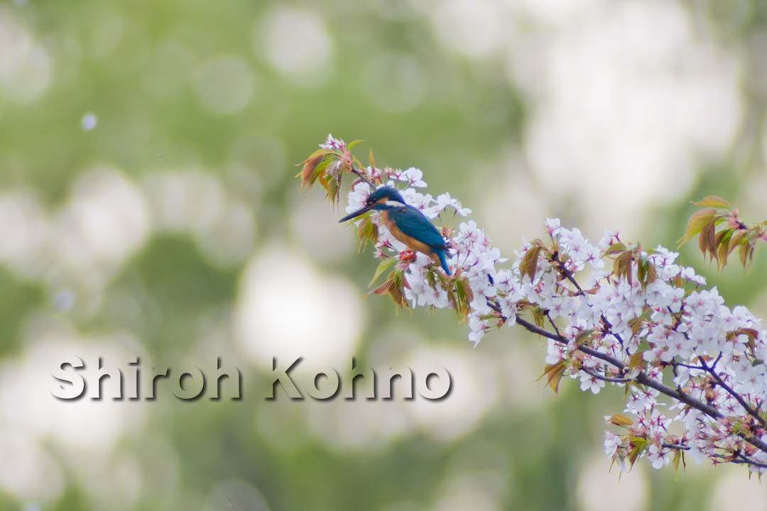 山桜とカワセミ