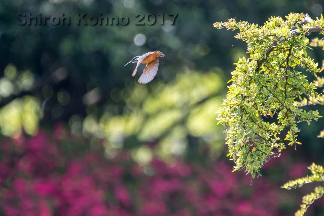 飛び立つカワセミ
