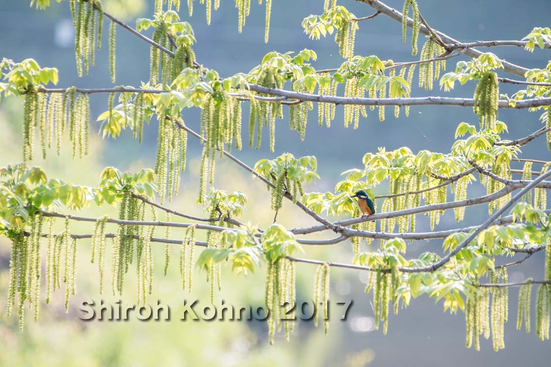 オニグルミの花とカワセミ