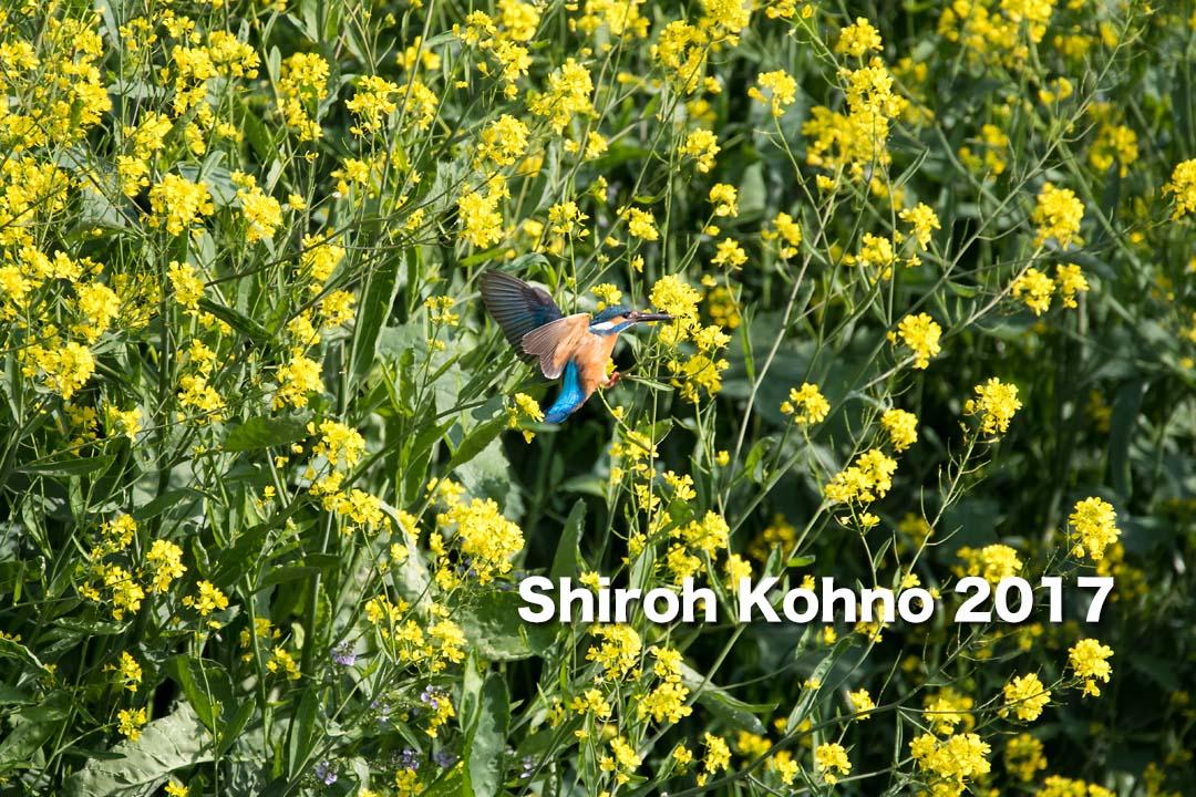 菜の花とカワセミ